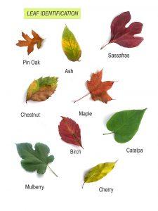 Nature Studies:  Leaf Identification