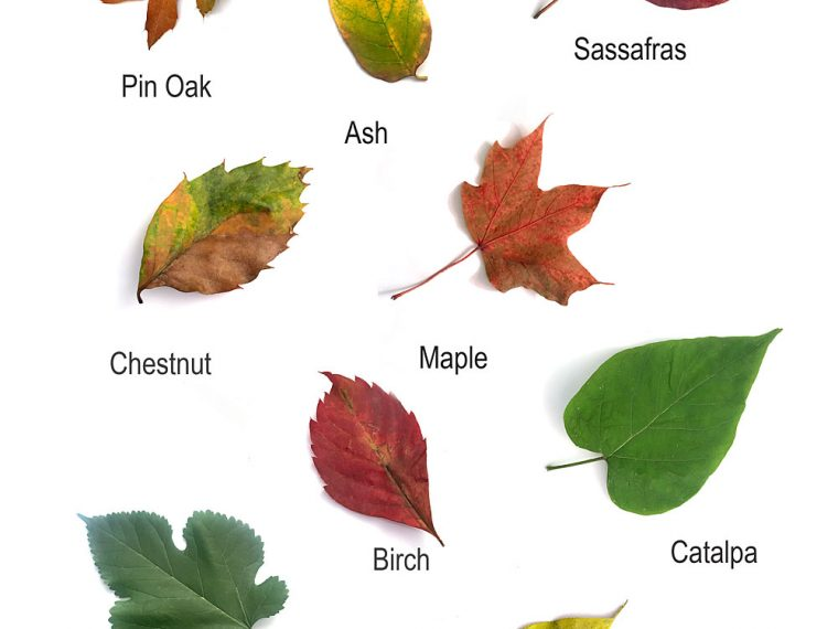 Leaf Identification sheet